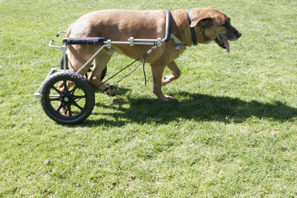 Gus, a 9-year-old Rhodesian Ridgeback with degenerative myelopathy (DM), using an Eddies Wheels cart and bilateral Anti-Knuckling Devices